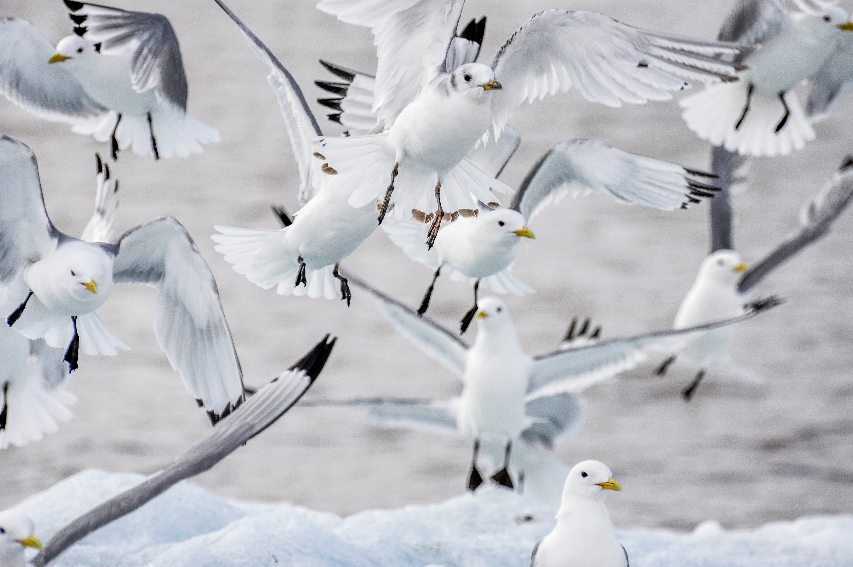Black-legged kittiwake taking off from an ice floe. Photo: Geir Wing Gabrielsen, Norwegian Polar Institute