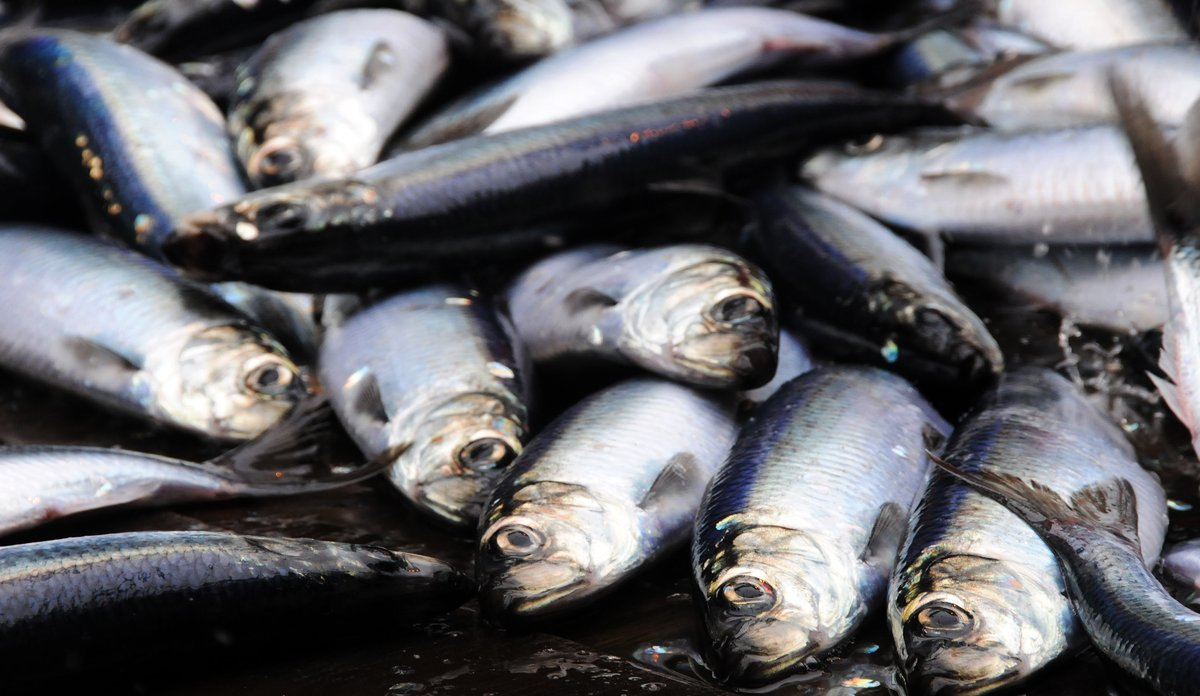 Atlantic herring (Clupea harengus): Photo: Institute of Marine Research, Norway