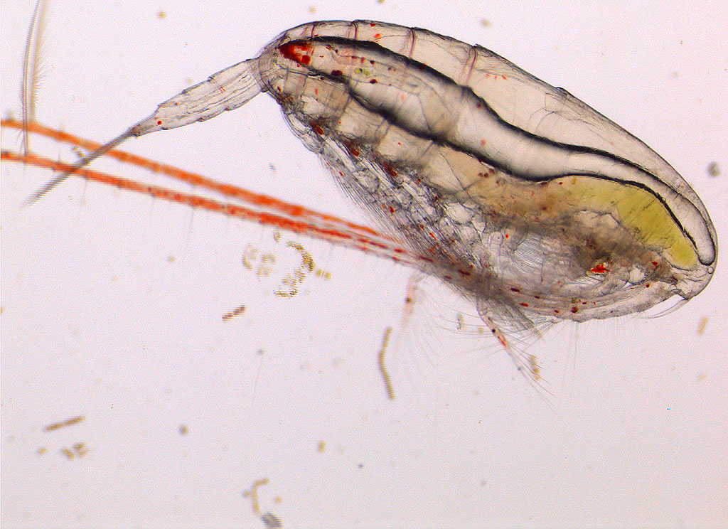 Calanus glacialis in Barents Sea. Photo: Norwegian Polar Institute