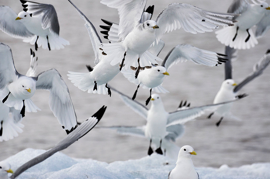 Black-legged kittiwake in Franz Josef Land. Photo: Norwegian Polar Institute