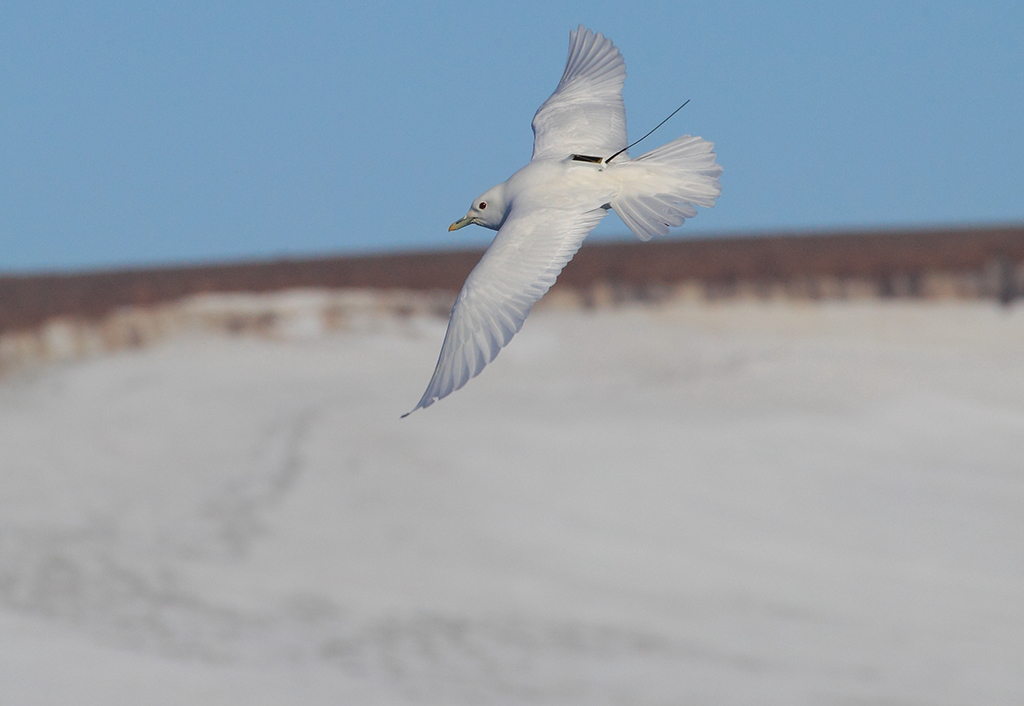 Monitoring seabird in the Barents Sea. Photo: Odd Kindberg