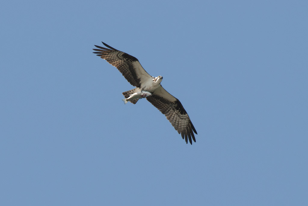 Osprey (Pandion haliaetus) (photo: NBIC)