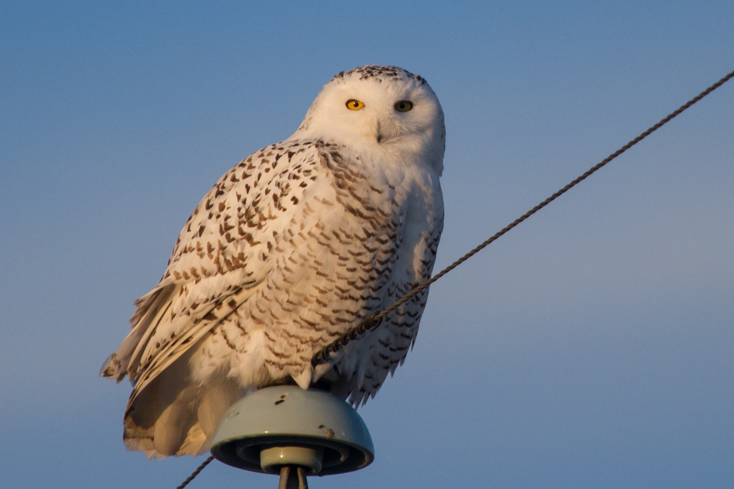 Snowy owl (Photo: David A Mitchell (https://www.flickr.com/photos/firstmac/6692145389/), used under Attribution 2.0 Generic (CC BY 2.0) license https://creativecommons.org/licenses/by/2.0/)