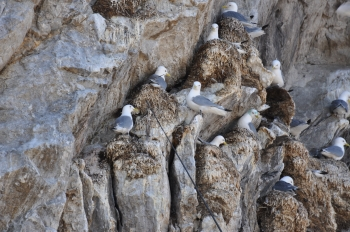 Black-legged kittiwake in bird cliff. Photo: Geir Wing Gabrielsen, Norwegian Polar Institute