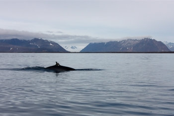 Northern minke whale (Balaenoptera acutorostrata). Photo: Ann Kristin Balto, Norwegian Polar Institute