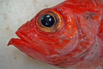 The deepwater redfish (Sebastes mentella) Photo: Fredrik Broms, Norwegian Polar Institute