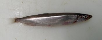 Capelin. Photo: Fredrik Broms, Norwegian Polar Institute