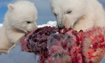 Polar bear cubs are eating at seals cadaver.. Photo: Norwegian Polar Institute
