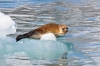 Ringed seal (Pusa hispida or Phoca hispida). Photo: Norwegian Polar Institute