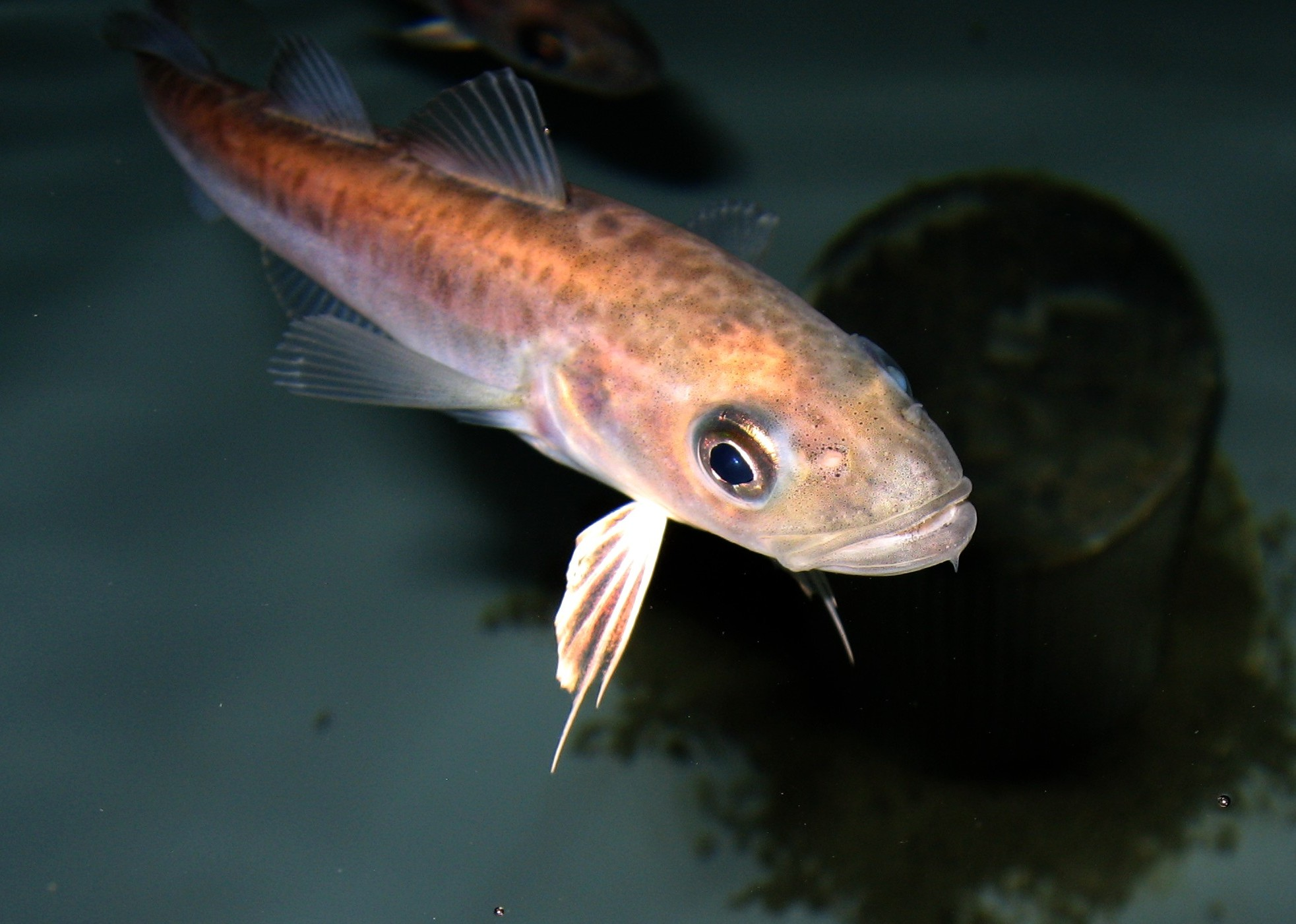 Polar cod. Photo: Fredrik Broms, Norwegian Polar Institute