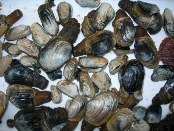 Marine shell species. Photo: Norwegian Polar Institute
