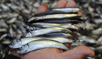 Capelin Photo: Institute of Marine Research, Norway