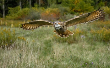 Eurasian eagle-owl (Photo: Stephane Tardif (https://www.flickr.com/photos/131988977@N08/30160387141/), used under Attribution 2.0 Generic (CC BY 2.0) license https://creativecommons.org/licenses/by/2.0/)
