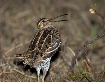 Great snipe (Gallinago media) (photo: NBIC)