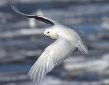 Ivory gull (Photo: Bjørn Frantzen / Norwegian Polar Institute)