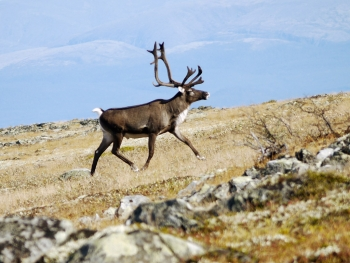 Reindeer (Rangifer tarandus) (photo: NBIC)